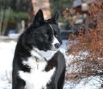 Winter Karelian Bear Dog