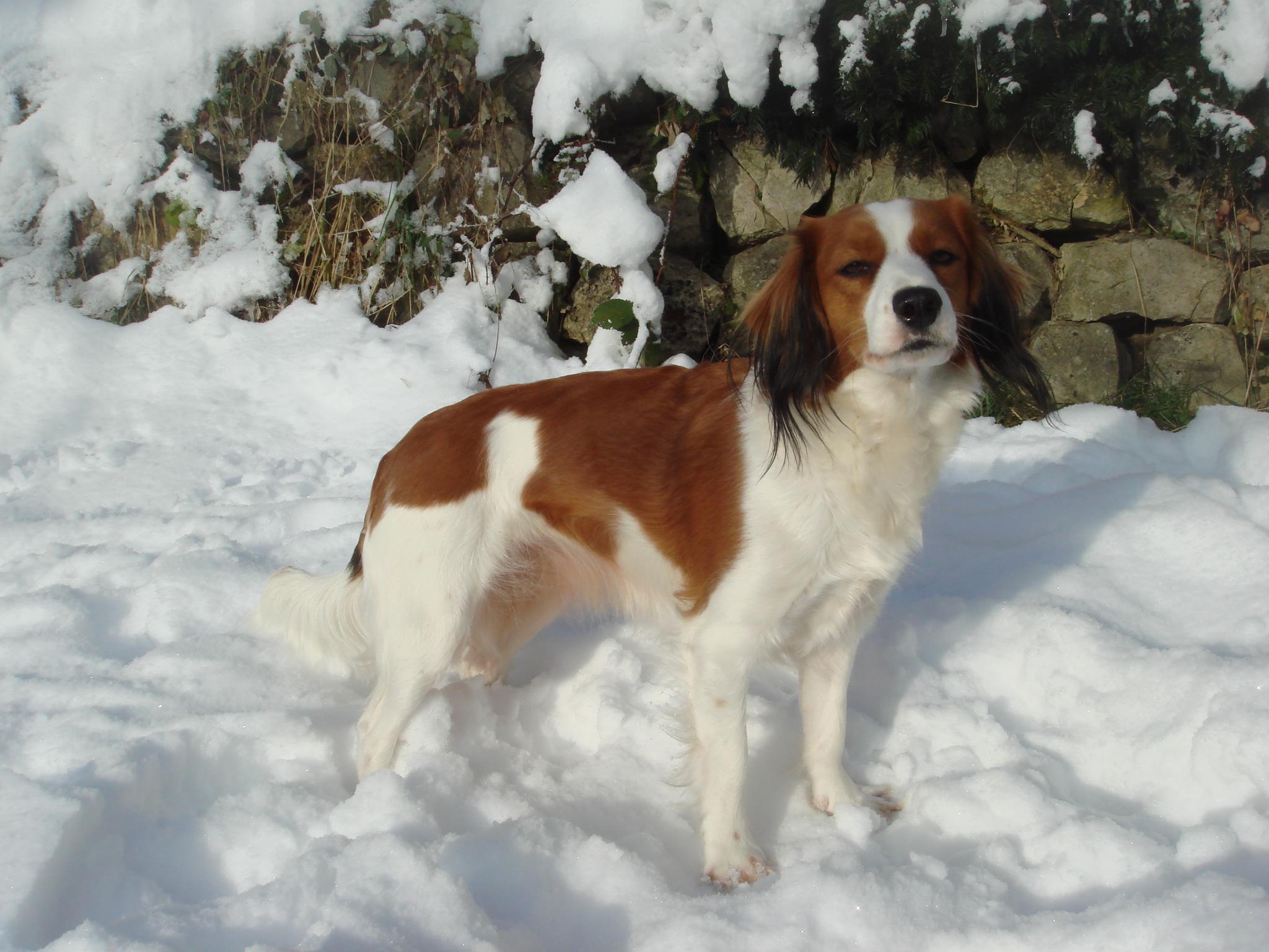 Зимнее фото собаки коикерхондье фото