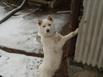 Winter Korean Jindo Dog