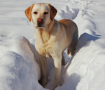 Winter Labrador Retriever dog