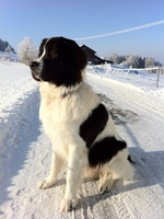 Winter Landseer dog