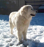 Winter Maremma Sheepdog dog