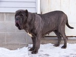 Winter Neapolitan Mastiff dog