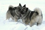 Winter Norwegian Elkhound dogs