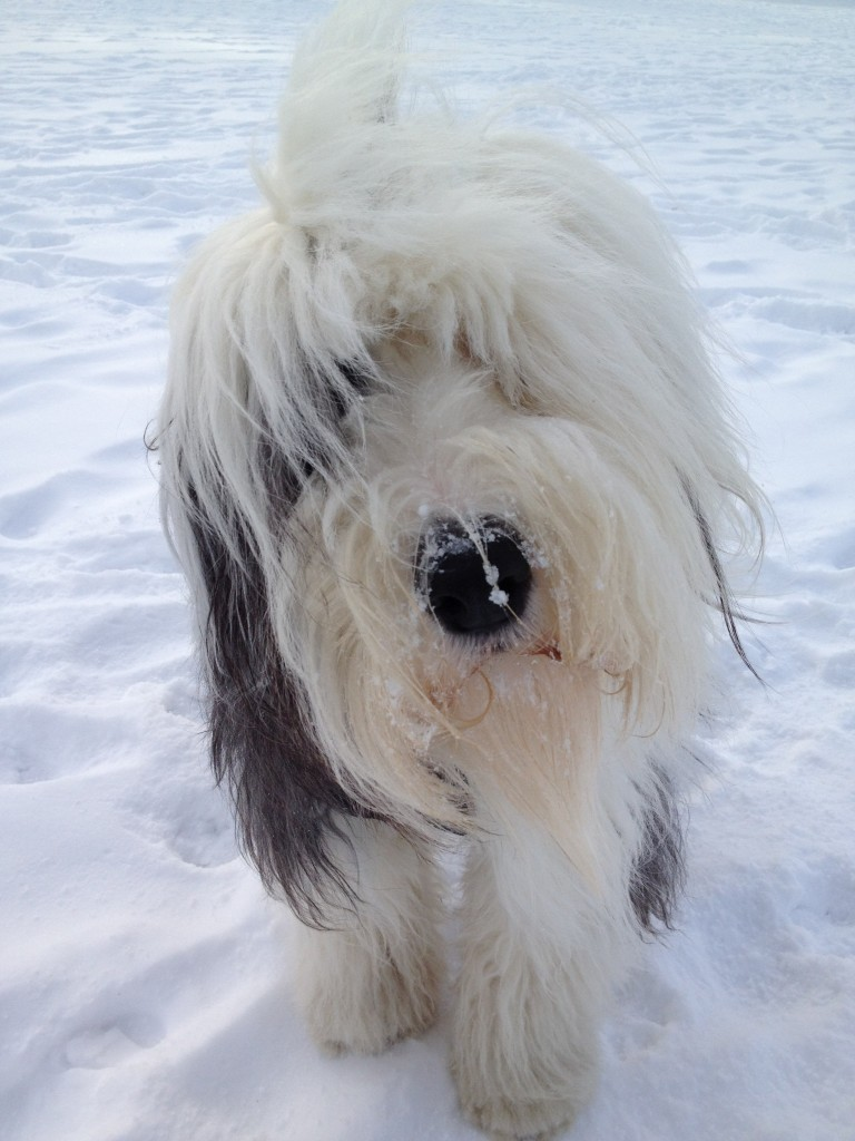 Winter Old English Sheepdog wallpaper