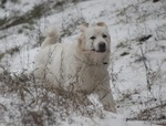Winter Polish Tatra Sheepdog