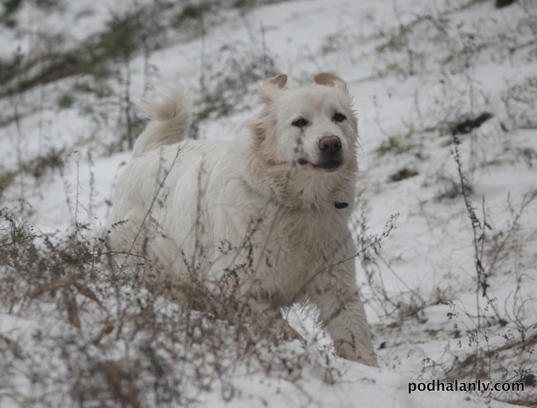 Winter Polish Tatra Sheepdog wallpaper