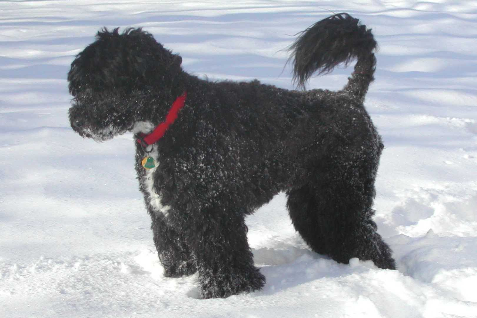 Winter Portuguese Water Dog wallpaper