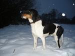 Winter Schweizer Laufhund