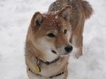Winter Shiba Inu dog