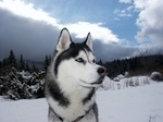 Winter Siberian Husky dog