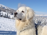 Winter Slovak Cuvac dog