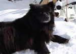 Winter Swedish Lapphund dog