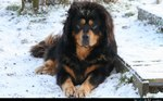 Winter Tibetan Mastiff