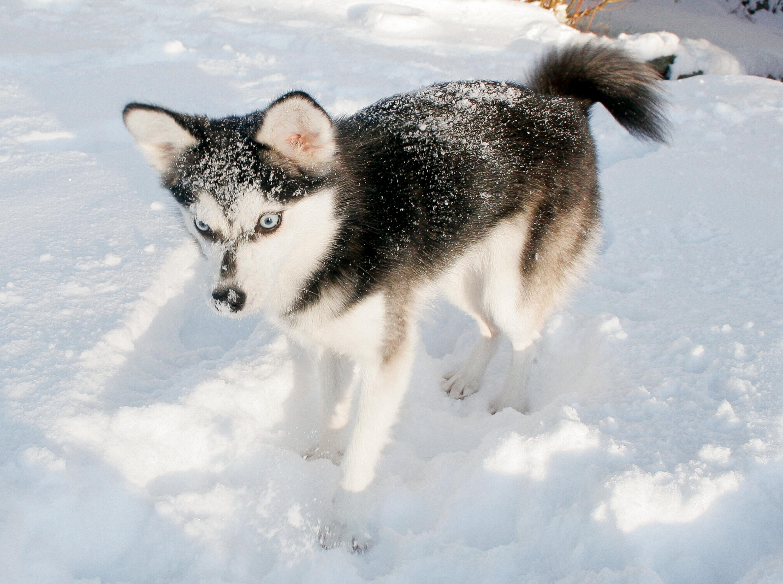 Зимнее фото аляскинского кли-кая фото