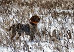 Winter Wirehaired Pointing Griffon dog
