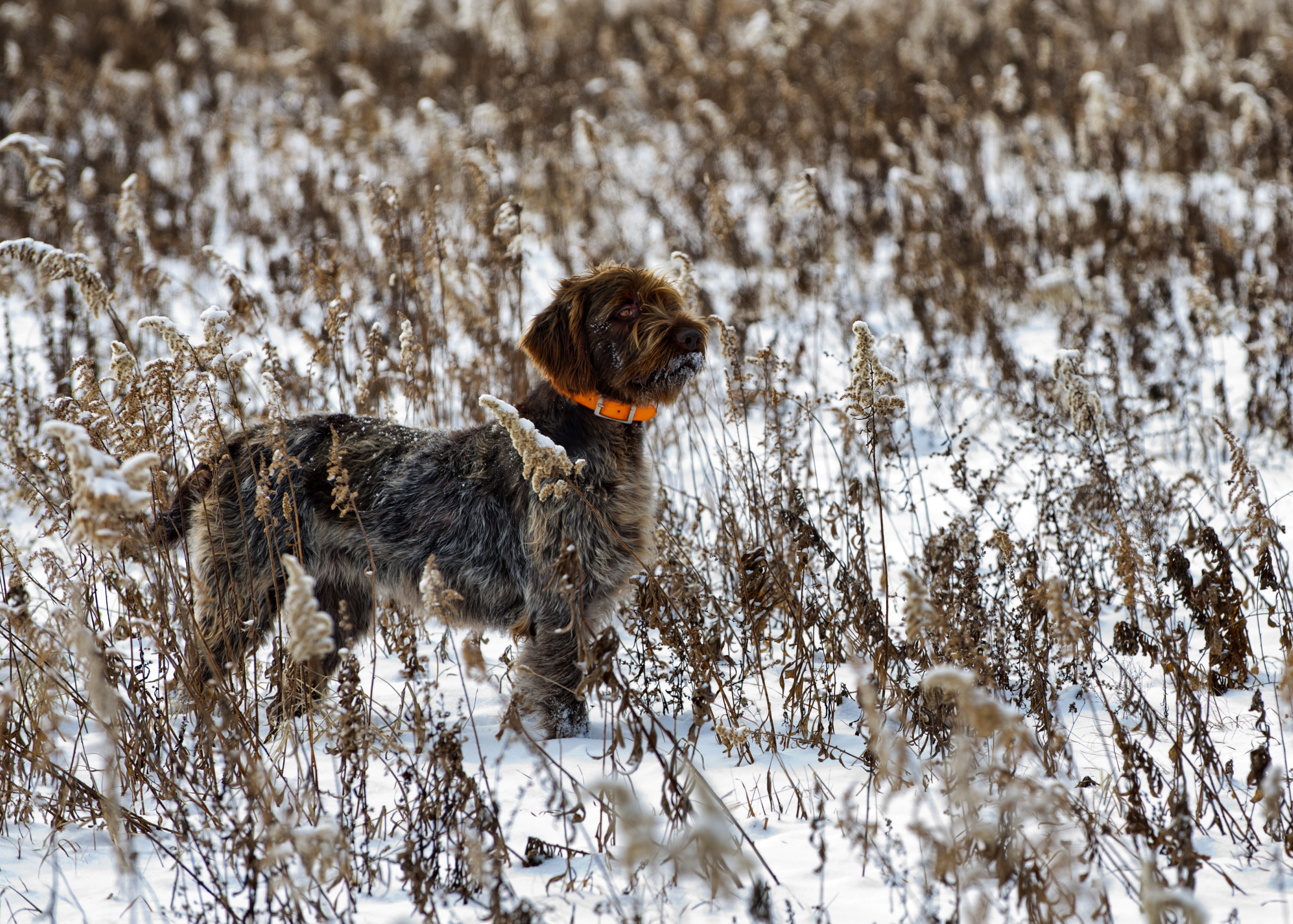 Winter Wirehaired Pointing Griffon dog wallpaper