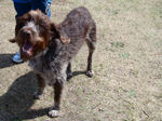 Wirehaired Pointing Griffon dog with master
