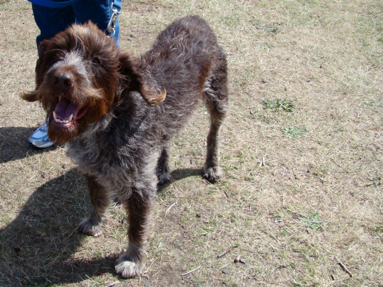 Wirehaired Pointing Griffon dog with master wallpaper