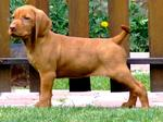 Wirehaired Vizsla dog in the rack