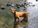 Wirehaired Vizsla in the lake