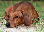 Wistful Dachshund dog