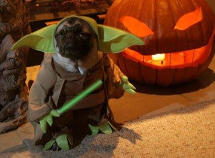 Yoda Pug dog wallpaper