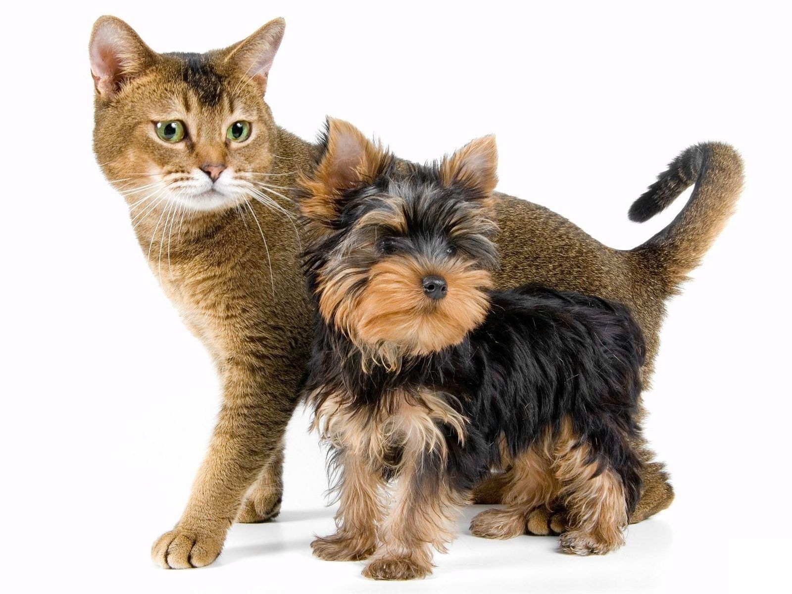 Yorkshire Terrier dog and cat wallpaper