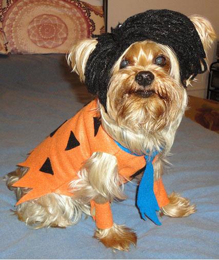 Yorkshire Terrier dog costume wallpaper