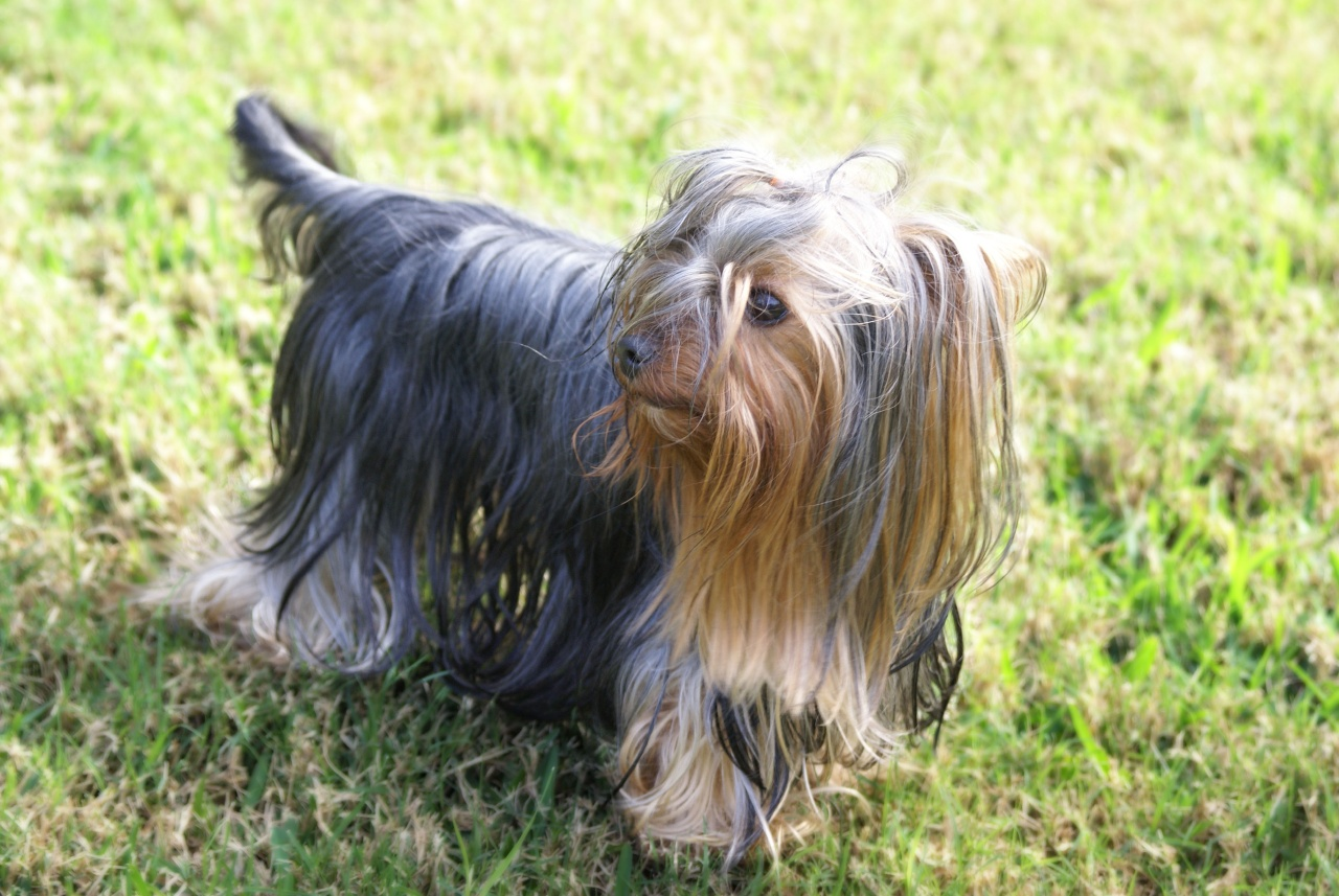 Yorkshire Terrier dog on the grass wallpaper