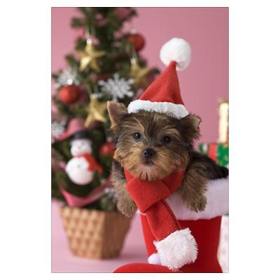 Yorkshire Terrier dog portrait фото