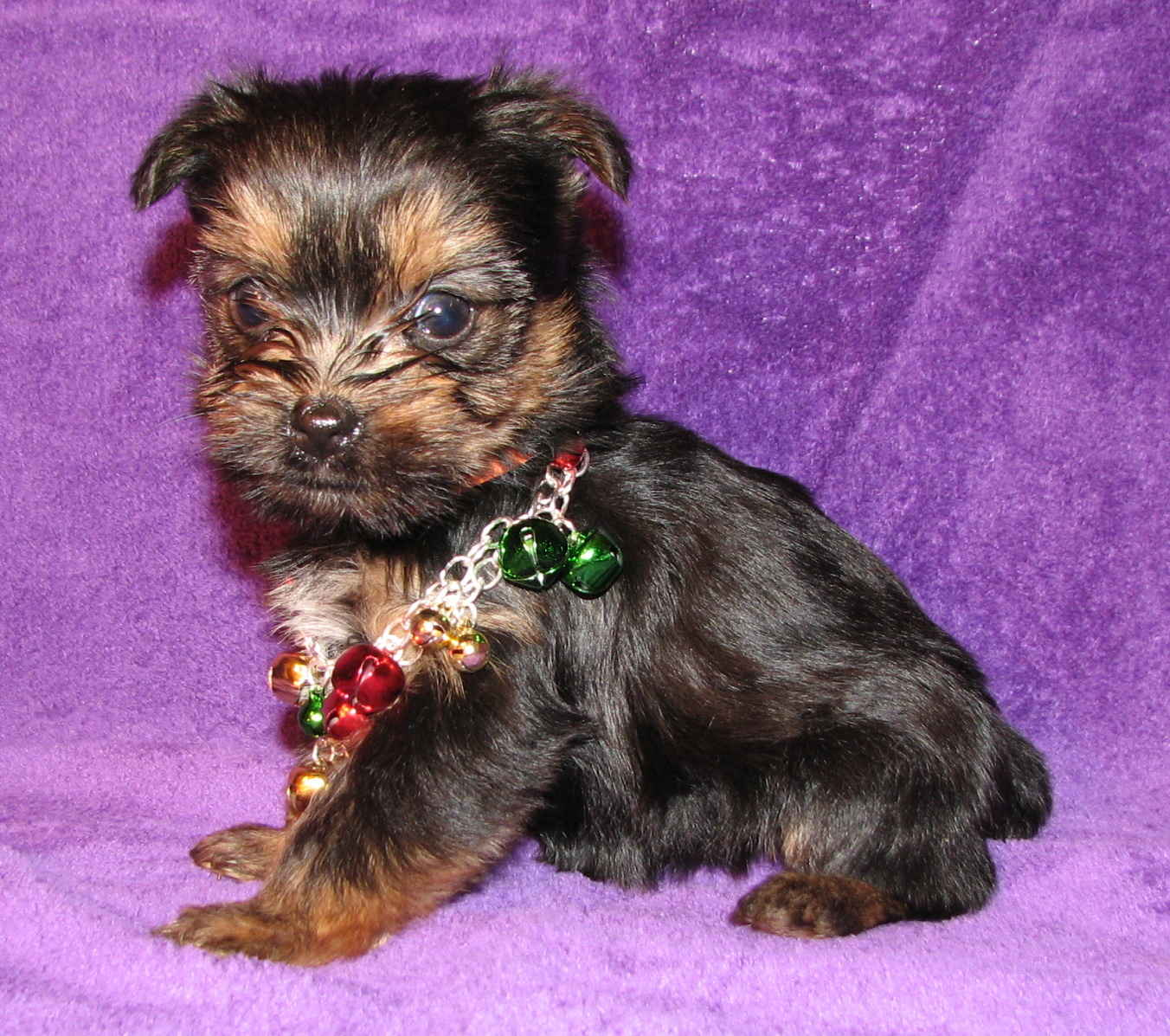 Yorkshire Terrier dog with a necklace wallpaper