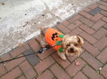 Yorkshire Terrier for a walk