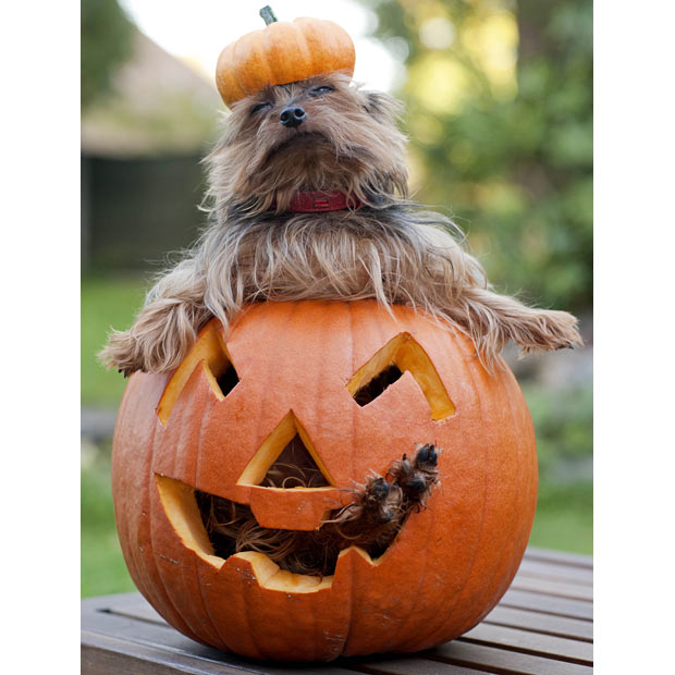 Yorkshire Terrier in the pumpkin wallpaper