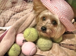 Yorkshire Terrier on the ball
