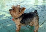 Yorkshire Terrier on the tile