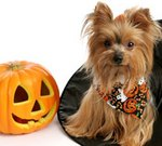 Yorkshire Terrier pumpkin Halloween