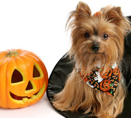 Yorkshire Terrier pumpkin Halloween wallpaper
