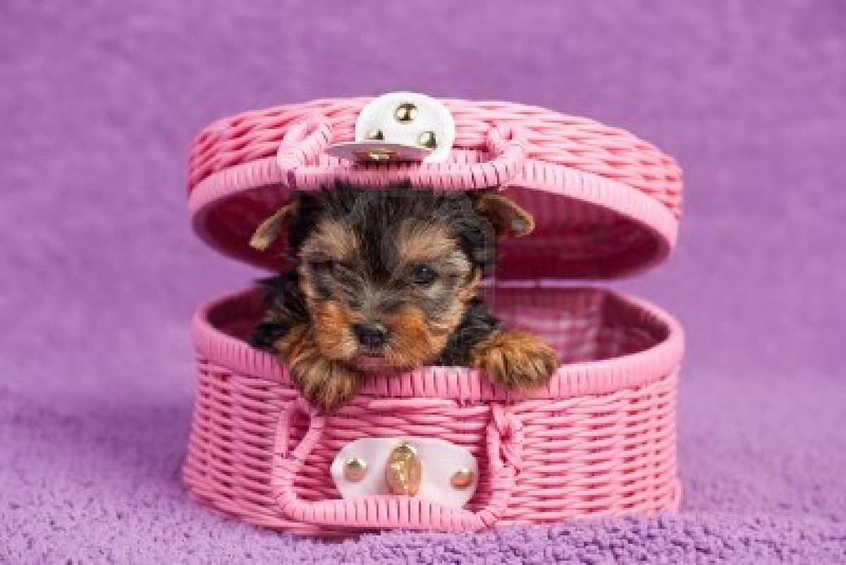 Yorkshire Terrier puppy in the pink basket wallpaper