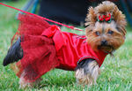 Yorkshire Terrier dog in the red dress