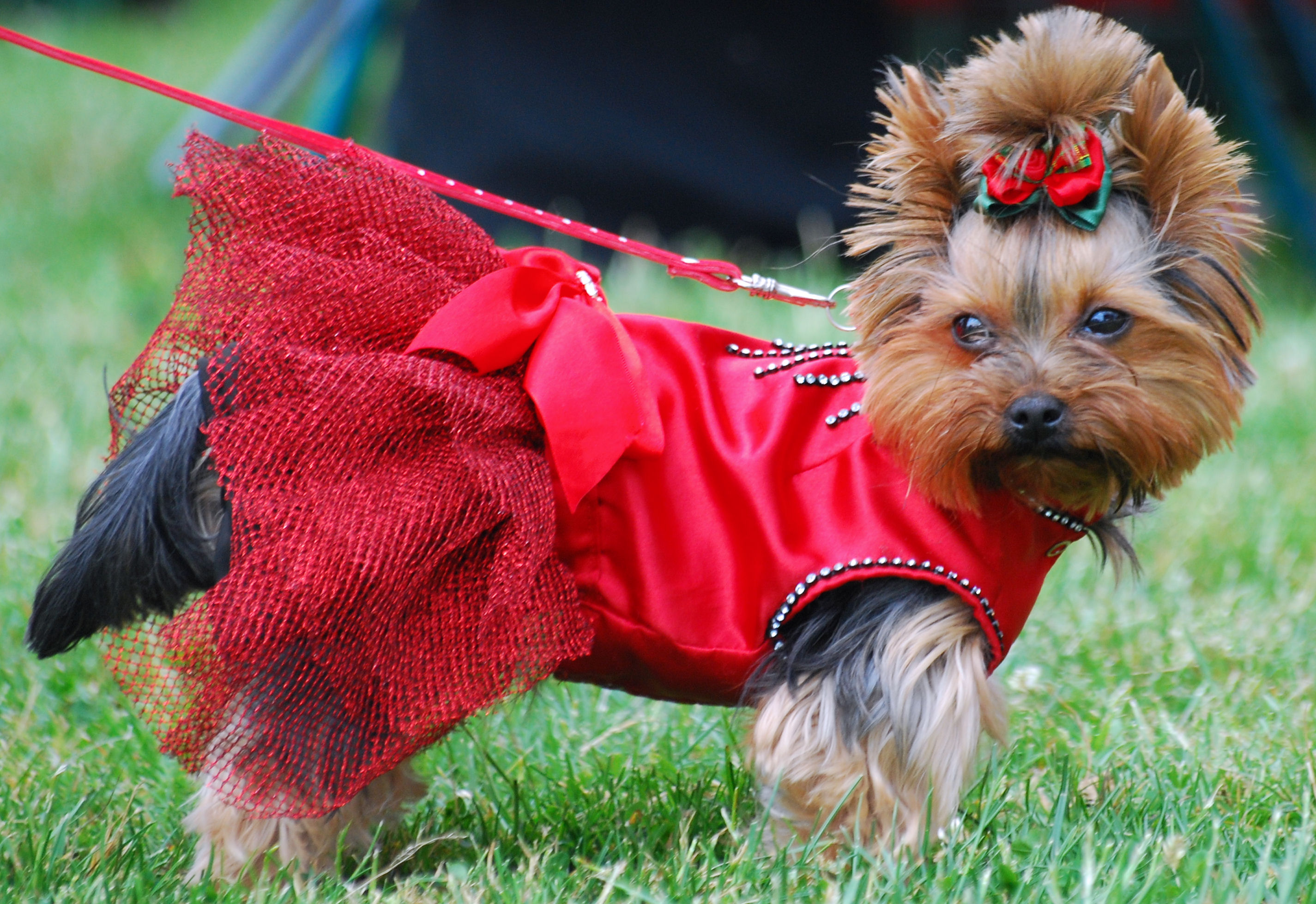 Yorkshire Terrier dog in the red dress wallpaper