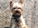 Yorkshire Terrier dog stands on sand