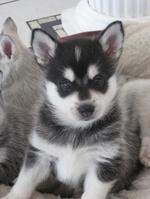 Young Alaskan Klee Kai