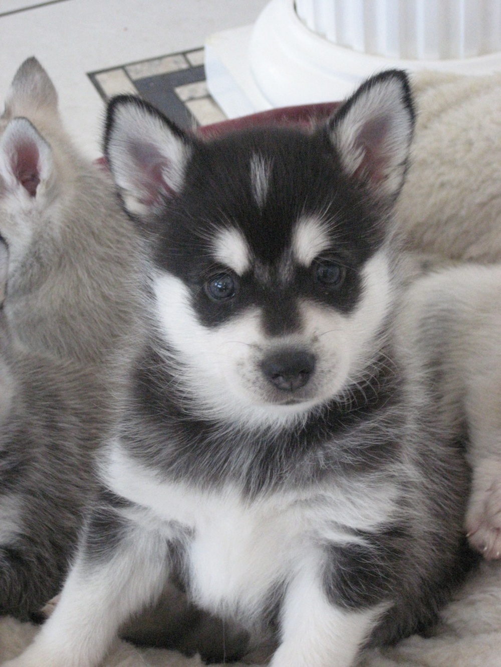 Young Alaskan Klee Kai wallpaper