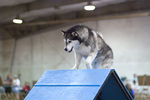 Young Alaskan Malamute on the dog show