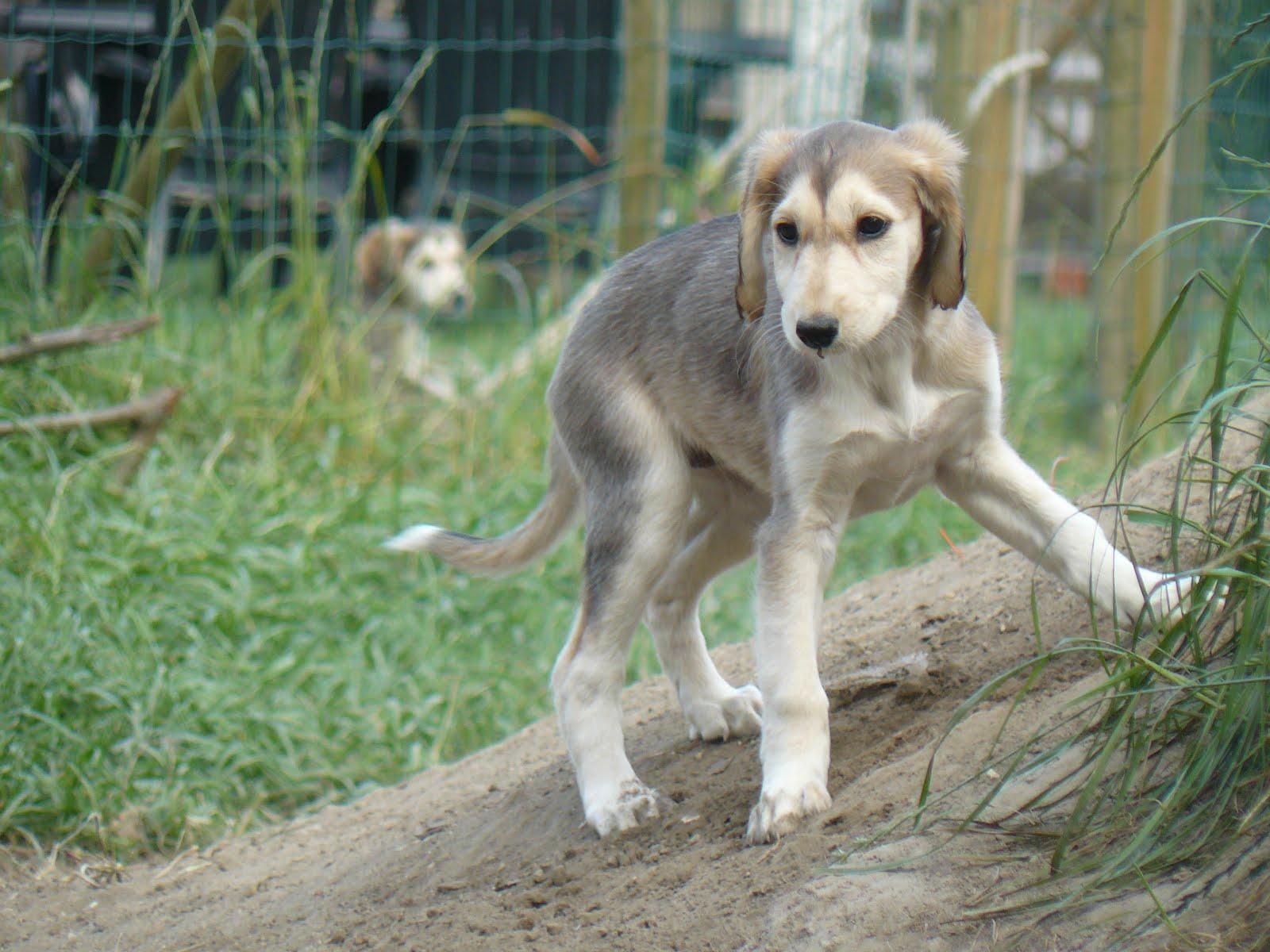 Молодая собака салюки фото